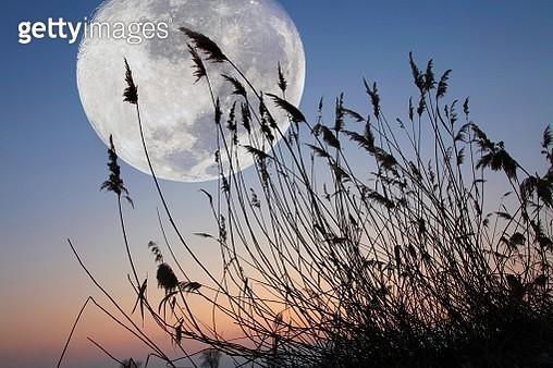 Reeds in front of full moon, Austria, Europe - gettyimageskorea