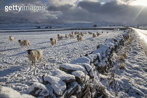 Domestic Sheep, flock, standing beside drystone wall in snow covered pasture, near Kirkby Stephen, Cumbria, England, December - gettyimageskorea