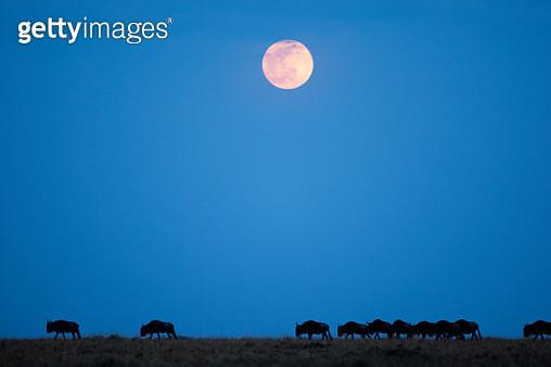 Wildebeest below full moon in Masai Mara National Reserve - gettyimageskorea