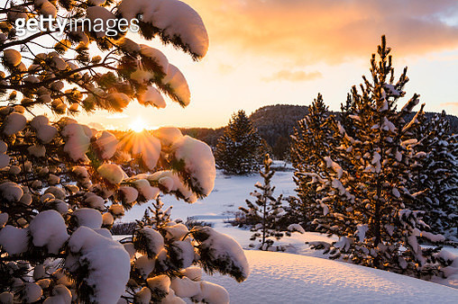 Snow-covered spruce at sunset - gettyimageskorea