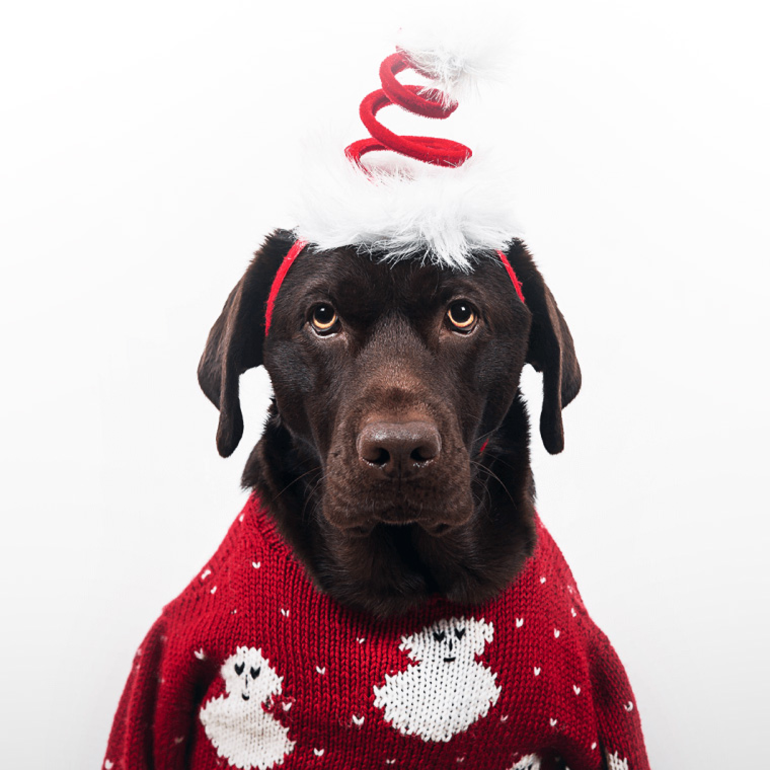 Pets in Christmas Mood