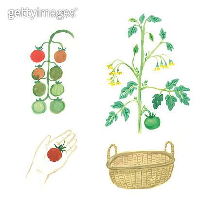토마토열매 일러스트 - gettyimageskorea