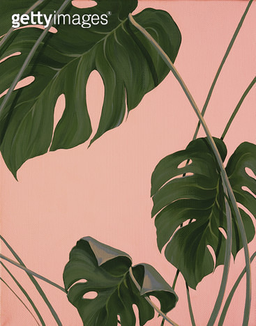 Pink monstera, 몬스테라식물 - gettyimageskorea