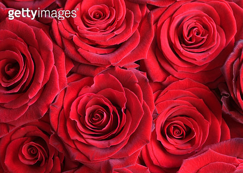Bouquet of Red Roses - gettyimageskorea