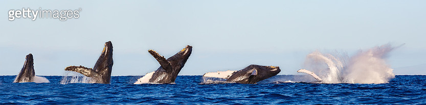 Humpback Whale Breaching Sequence - gettyimageskorea