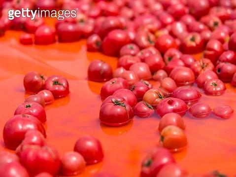 달성군축제,토마토축제,대구토마토축제,토마토 - gettyimageskorea