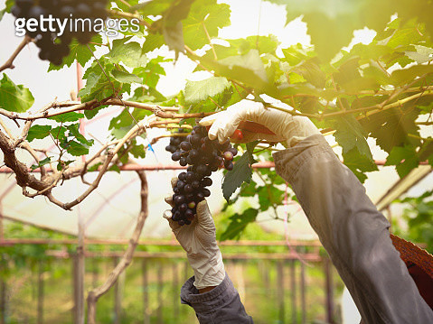 Close up view of fresh red wine grape, Bunch of grapes on a vine in the sunshine, grape harvest close up hands - gettyimageskorea