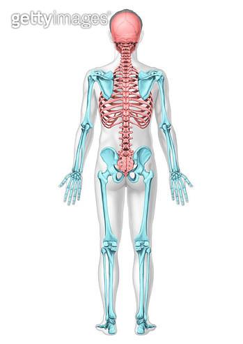 인체해부학 서론_인체의 몸통(체간)과 팔다리 뼈대(체골격)_뒷면 - gettyimageskorea