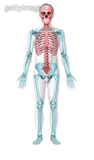 인체해부학 서론_인체의 몸통(체간)과 팔다리 뼈대(체골격)_정면 - gettyimageskorea