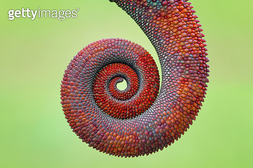 Close-up of a chameleon prehensile,  tail - gettyimageskorea