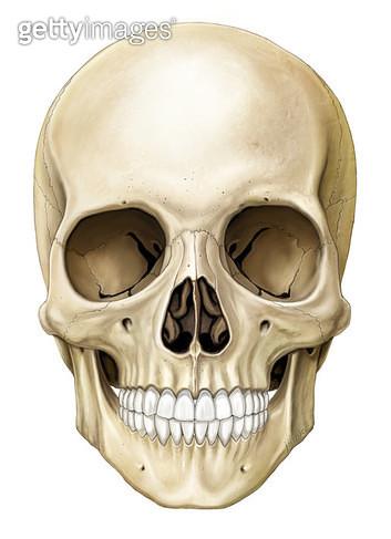 골격계통_두개골 정면 - gettyimageskorea