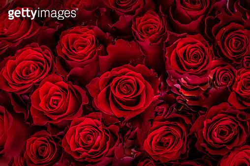Close-Up of Roses Blooming Outdoor, Germany - gettyimageskorea