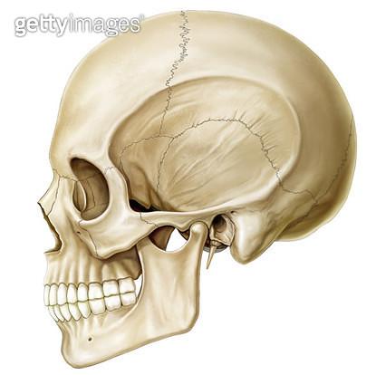골격계통_두개골 측면 - gettyimageskorea
