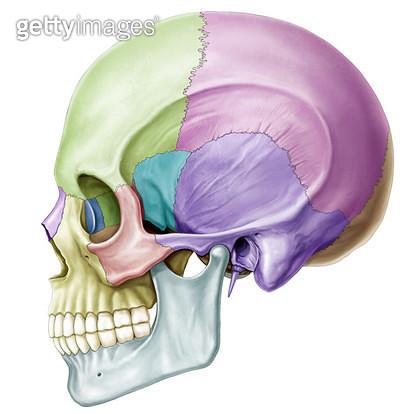 골격계통_두개골 측면 구분 - gettyimageskorea