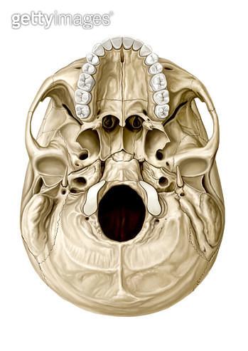 골격계통_머리뼈의 아래면 - gettyimageskorea