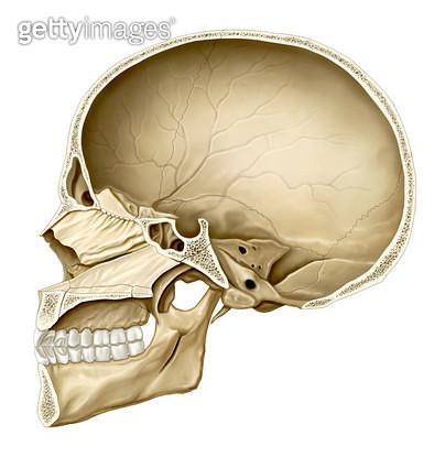 골격계통_머리뼈의 시상면 - gettyimageskorea