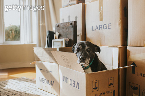 A Dog in a Cardboard Box on Moving Day - gettyimageskorea