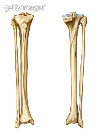 골격계통_정강뼈 종아리뼈_앞면_뒷면 - gettyimageskorea