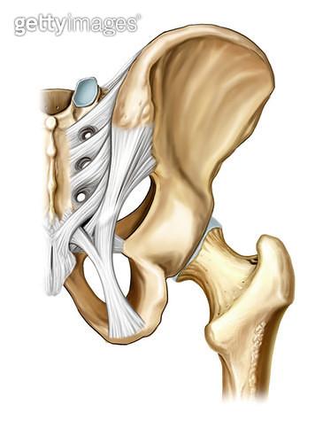 관절계통_다리이음뼈의 관절 - gettyimageskorea