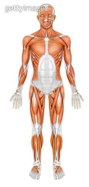 근육계통_몸의 근육_앞면_바깥근육 - gettyimageskorea