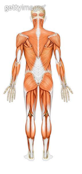 근육계통_온몸의 근육_뒷면_바깥근육 - gettyimageskorea