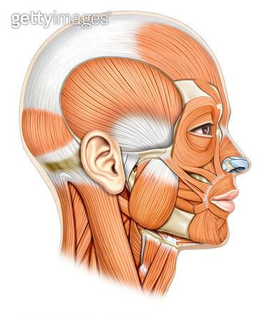 근육계통_머리의 근육_측면 - gettyimageskorea