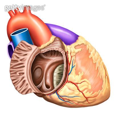 심장 혈관계통_오른심방과 오른심방귀의 해부 - gettyimageskorea