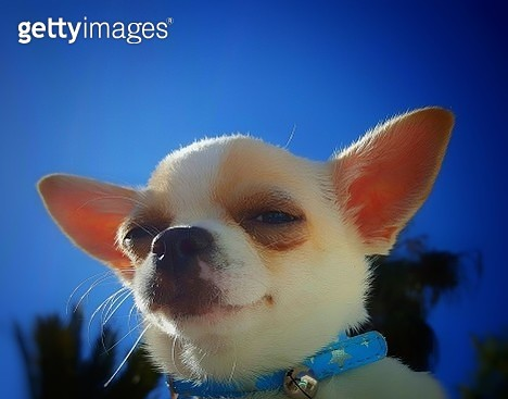 Close-Up Of Puppy Against Blue Sky Chihuahua Dog - gettyimageskorea