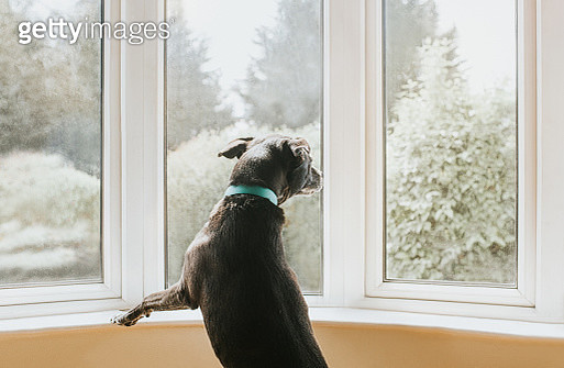 Dog looking out a Window - gettyimageskorea
