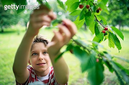 Little boy picking up cherries in orchard - gettyimageskorea