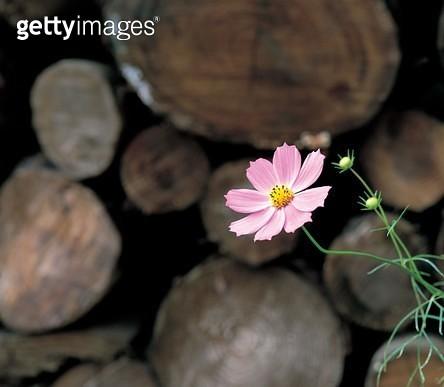 코스모스, 한송이, 실외, 가을, 꽃, 한국, 야생화, 식물, 코스모스 - gettyimageskorea