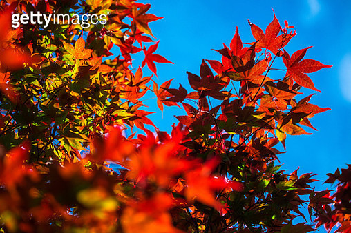 Low Angle View Of Maple Tree Against Sky - gettyimageskorea