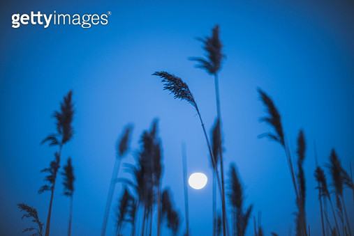 Full moon behind marram grass - gettyimageskorea