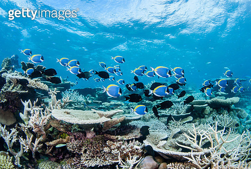 A large school of surgeon fish is feeding amongst a variety of hard corals. - gettyimageskorea