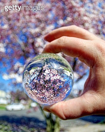 Pink Blossoming Tree Seen Through a Lensball - gettyimageskorea