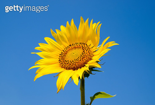 Close-Up Of Fresh Sunflower Against Clear Blue Sky - gettyimageskorea