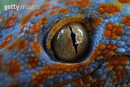 Tokay gecko (Gekko gecko) - gettyimageskorea