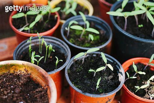 Potted vegetables in a cold frame - gettyimageskorea