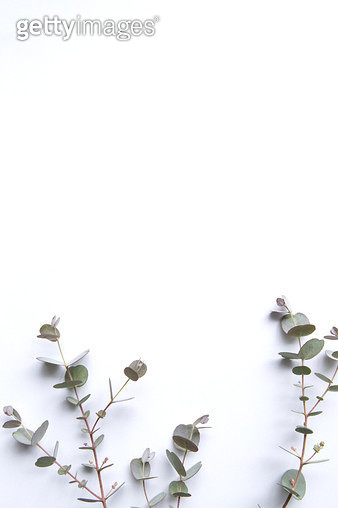 Light background with a beautiful branch of eucalyptus - gettyimageskorea