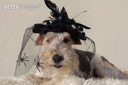 Fox terrier wearing Halloween costume - gettyimageskorea