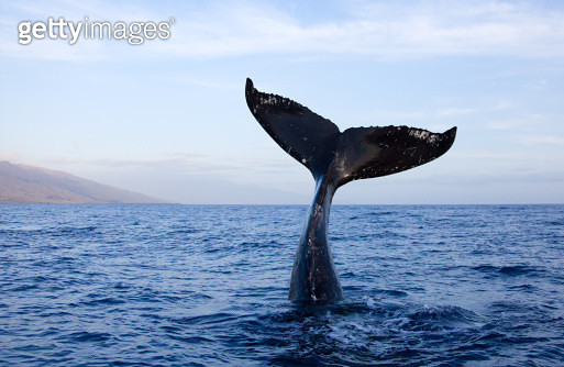 Humpback-whale-tail - gettyimageskorea