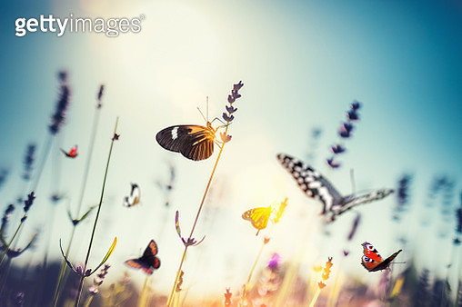Colorful butterflies in lavender field. - gettyimageskorea