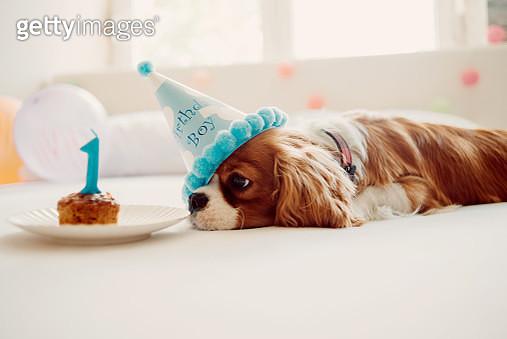 dog birthday celebration - gettyimageskorea