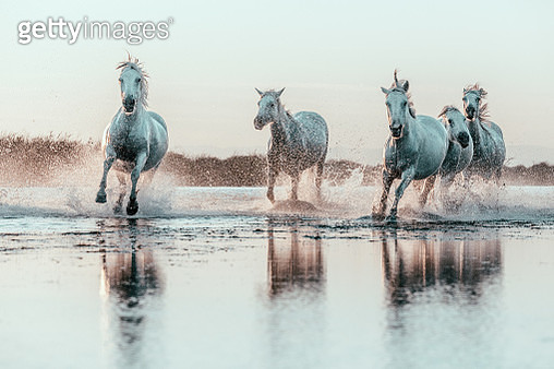 Wild White Horses of Camargue running in water. Aigues Mortes, France - gettyimageskorea