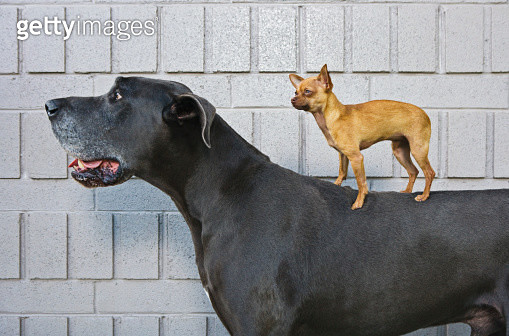 Chihuahua on Great Dane's back - gettyimageskorea