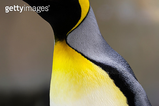 Bright yellow-orange feather plumage on the chest of a King Penguin. - gettyimageskorea