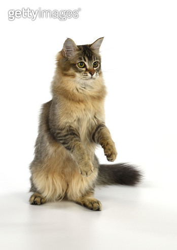 CAT Tiffanie cat jumping and dancing. - gettyimageskorea