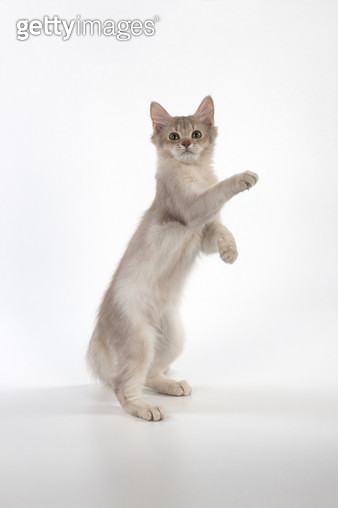 CAT Somali cat in action . - gettyimageskorea