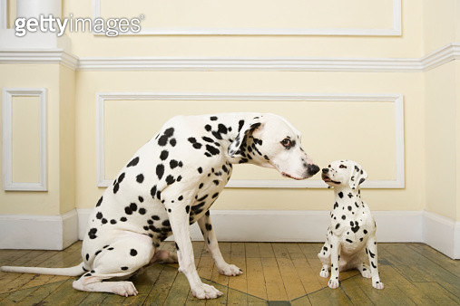 Dalmation with dog ornament - gettyimageskorea