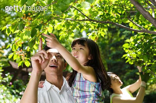 Happy family in picking cherries - gettyimageskorea